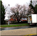 ST3091 : Pink blossom in late winter, Malpas, Newport by Jaggery