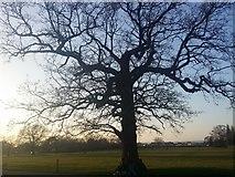 TQ1988 : Tree in Roe Green Park, Kingsbury by David Howard