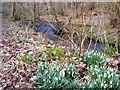 NH7357 : Snowdrops beside Rosemarkie Burn by Rob Farrow