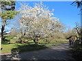 TQ1877 : Magnolia in bloom, Kew Gardens by David Hawgood