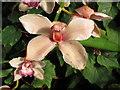TQ1877 : Kew Gardens orchid festival, orchid bloom by David Hawgood