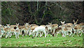 SE2770 : Fallow deer, Studley Royal Park by Mick Garratt