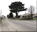 SM9516 : Dominant tree on a Haverfordwest corner by Jaggery