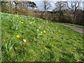 SO8698 : Daffodils at Wightwick Manor by Philip Halling