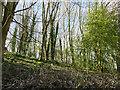 SE2235 : Wooded hillside above Cape Mills by Stephen Craven