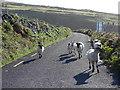 V3396 : Sheep on the road by Matthew Chadwick