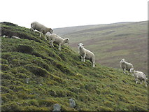 NT1130 : Sheep in Tweeddale by M J Richardson