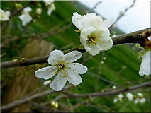 H6056 : Blossoms, Carran by Kenneth  Allen