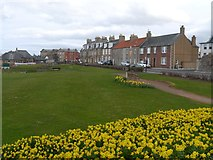 NT6779 : Daffodils at the Glebe Dunbar by Jennifer Petrie