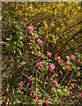 SK5537 : Ribes and Forsythia by Alan Murray-Rust