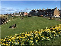 NT6779 : Daffodils on the Glebe Dunbar by Jennifer Petrie