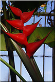 TQ1876 : Heliconia stricta in the Palm House by Stephen McKay