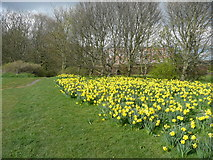 SE3531 : Daffodils alongside a path, Temple Newsam, Leeds by Humphrey Bolton