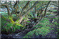 SY9483 : Trees and watercourse, Norden by Derek Harper