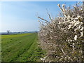 SP6593 : Blackthorn blossom next to the Grand Union Canal by Mat Fascione