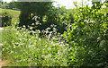 SS4818 : Cow parsley above Taddiport by Derek Harper