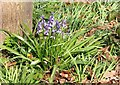 TG2408 : Bluebells (Hyacinthoides non-scripta) by Evelyn Simak