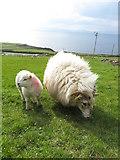 V3497 : Sheep and lamb on the Dingle Peninsula by Gareth James