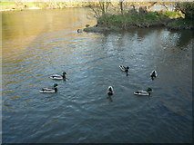 SO5074 : Mallards at The River Teme (Ludlow) by Fabian Musto
