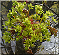 NJ3151 : Norway Maple (Acer platanoides) by Anne Burgess