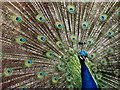 SY2798 : Peacock at Axe Valley Wildlife Park by Nigel Mykura