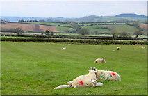 SY2793 : Sheep and Lambs at Lower Bruckland by Nigel Mykura
