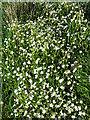 NJ8864 : Greater Stitchworth (Stellaria holostea) by Anne Burgess