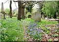 TG2408 : Bluebells growing alongside a path in Section C by Evelyn Simak