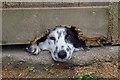 NT2318 : Buddy the sheepdog by Walter Baxter