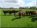 SP1664 : Young bullocks by Philip Halling