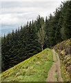 NT2743 : Lone deciduous tree against backdrop of conifers by Trevor Littlewood