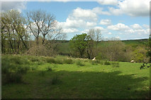 SS5721 : Sheep pasture north of North Heale by Derek Harper