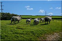 SS5726 : North Devon : Grassy Field & Sheep by Lewis Clarke
