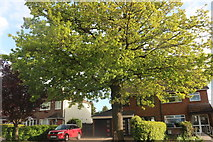 SP3977 : Tree on Rugby Road, Binley Woods by David Howard