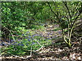 SK3224 : Bluebells on the old trackway into Spur's Bottom by Ian Calderwood