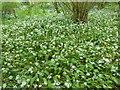 TQ6952 : Wild garlic in Waregrave's Wood by Marathon