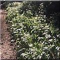 SK3582 : Wild garlic in Graves Park by Graham Hogg