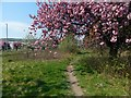 NS3978 : Path with cherry blossom by Lairich Rig