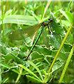 TL2212 : Damselfly at Lemsford Springs: Agrion splendens (female) by Stefan Czapski