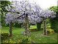 TQ6949 : Wisteria at The Gardens Yalding by Marathon