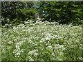 TQ5365 : Cow parsley near Eynsford by Marathon