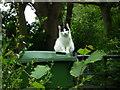 SJ6703 : Cat at St. Luke's Road (Ironbridge) by Fabian Musto