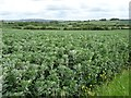 SP2236 : View across of a field of fava or field beans by Philip Halling