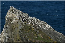 HP5917 : Gannets on Humla Stack, Hermaness by Mike Pennington