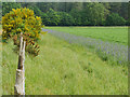 TL8296 : Environmental headland alongside potato crop in STANTA by David Pashley