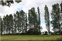 SP6229 : Poplar trees in Newton Morrell by David Howard