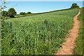 SX8854 : Wheat near Higher Greenway by Derek Harper