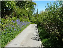 SJ0234 : Roadside bluebells just north of Ty-nant farm by Richard Law