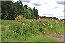 SP8434 : Poppies by Standing Way, Bletchley by David Howard