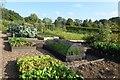 SE2754 : Salad and vegetable garden by DS Pugh